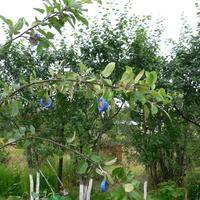 Подвески для яблони