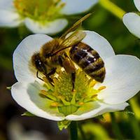 Как вы привлекаете пчел для опыления ягод и овощей?