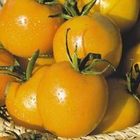 Правда ли, что желтые помидоры полезнее?