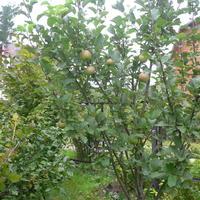 С чего начнете весной обработку ягодных кустов и фруктовых деревьев?