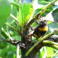 Помогает ли черная тля в привлечении полезных насекомых?