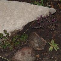 Что можно ещё посадить у камня?