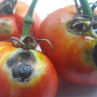 Чем болеет помидор?