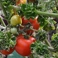 Кудряволистный помидор