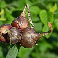 Многоярусный лук «Одесский зимний 12»
