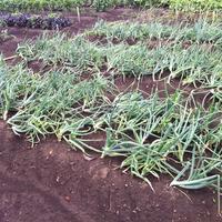 Как спасти урожай лука?
