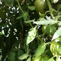 Существуют ли рекомендации по ускорению процесса покраснения томатов в теплице?