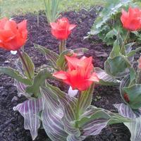 Тюльпаны Грейга Ораторио хорошо проросли после зимы, выпустили стрелки с бутонами, но бутоны не стали развиваться, засохли. В чем может быть проблема?