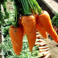 Рыжая 'Белочка' - сладкая морковка!