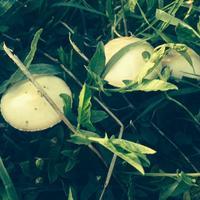 Помогите, пожалуйста, распознать грибы.