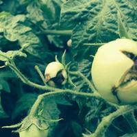 Помогите разобраться, как выглядят болезни томатов в реальности