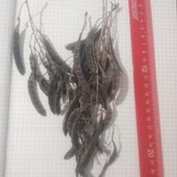 Кто-нибудь выращивал бобовник из семян?
