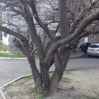 Как вырастить многоствольное дерево?