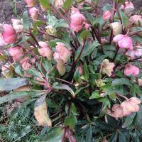 """Морозник или """"Рождественская роза"""" в нашем саду"""