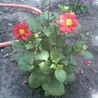 С тех пор, как я увлеклась цветами и вообще садом, близкие и не близкие, дарят мне разные семена, приносят без названия. А с вашей помощи я узнаю...