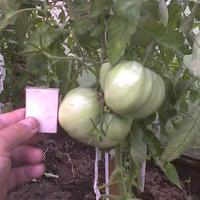 Неизвестный синьор - помидор