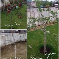 Обрезка и формировка яблони
