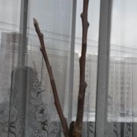 Как выращивать колоновидные яблони на балконе?