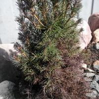 Часть хвои ели почернела после зимы. Чем можно ей помочь?