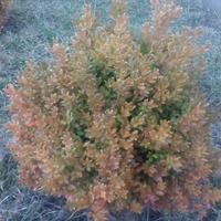 Почему кусты самшита поменяли цвет листьев?