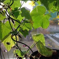 Можно ли обработать плодоносящие огурцы фитоспорином?
