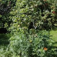 На листьях яблони появились коричневые пятна, листья сохнут. Это заболевание или вредители?
