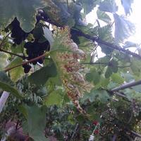 Чем болен виноград?