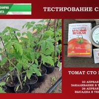 Томат Сто Пудов. III этап - высадка в теплицу