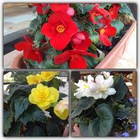 Можно ли сохранить бегонию садовую до следующей весны? Или она выращивается только как однолетнее растение?