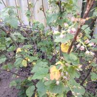 Почему желтеют листья на смородине?