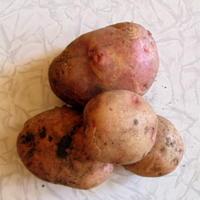 Подскажите, почему картошка мягкая?