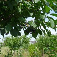 Подскажите, что можно сделать из плодов черемухи? Они очень горькие