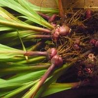 Срослись луковицы гладиолусов. Нужно ли их разделять?
