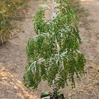 Есть ли растения в России, из которых можно сформировать бонсай?