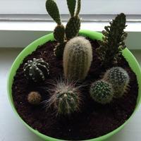 Есть ли у вас дома кактусы?