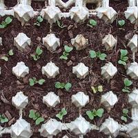 Поделитесь мнением по выращиванию редиски в яичных кассетах?