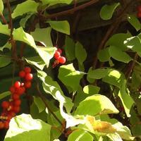 Кизил, лимонник и виноград в осеннем саду