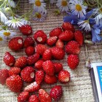 Регина - сорт крупноплодной земляники в моем саду