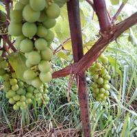Коктейль для винограда