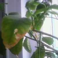 Почему бледнеют листья у комнатного лимона?