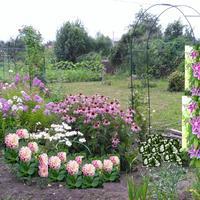 Эхинацея с аркой из роз и клематиса