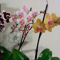 Орхидей неувядающая красота