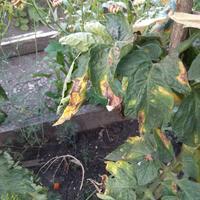 Помогите определить заболевание томатов. Как с ним бороться?