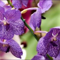 Бал орхидей