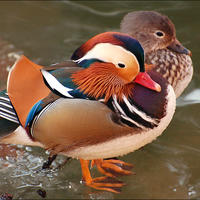 Мандаринки (Mandarin Duck) на счастье!