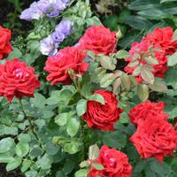 Розы нашего сада. Часть 1