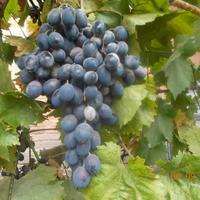 Белый налёт на винограде - это болезнь или нормальное явление? И если это болезнь, чем и как лечить?