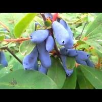 Как вырастить жимолость из семян