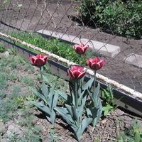 Стоит ли проливать грядку перед посадкой тюльпанов и как защитить их от мышей?