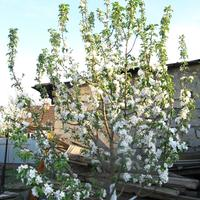 Капризуля яблоня моего сада